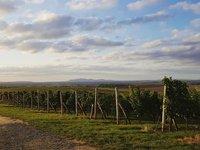 Výslednou chuť vína ovlivní místo pěstování i počasí.