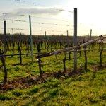 Přes zimu keře odpočívají a na jaře opět začíná celý koloběh pěstování vinné révy.