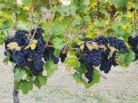 Tradice pěstování vinné révy na Moravě sahá až do 12. století.