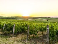 Na výsledné chuti vína má velký vliv právě místo pěstování vinné révy.