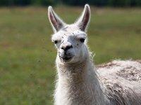Říká se ji Lama krotká, tak schválně. :)