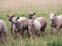 Oblíbené africké plemeno -  ovce kamerunská.