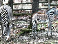 Zebry grévyho